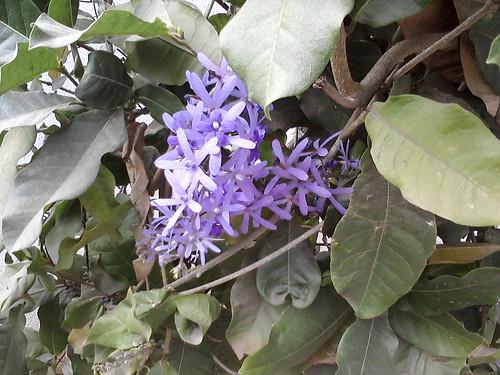 3. Krishnagaru flowers 3