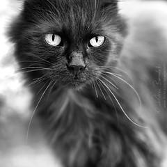 live evil () Tags: portrait black male andy up look cat intense eyes feline close andrea f14 evil andrew occhi sguardo felino gatto ritratto nero 50mmf14 intenso vicino benedetti thelittledoglaughed nikond90 thecatwhoturnedonandoff