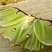 A Luna Moth (Actias luna) shows all four of her wings
