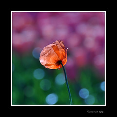 Transparence... (Alcosinus   ON-OFF ) Tags: flowers nature fleurs coquelicot nationalgeographic naturellement natureart c