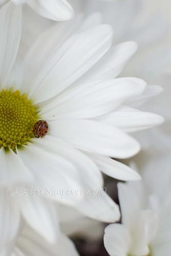 daisy ladybug2