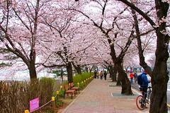 2010 Hangang Yeouido Spring Flower Festival (rbitting) Tags: flower tree festival cherry geotagged spring blossoms korea seoul yeouido hangang geo:lon=126912225000 geo:lat=37529813333