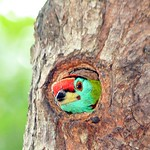Woodpecker Nagaon - India thumbnail
