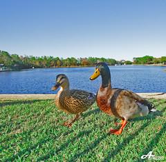 DuckDuck... (ZiZLoSs) Tags: usa canon eos duck orlando florida sigma 1020mm aziz sigma1020mm abdulaziz  duckduck 450d zizloss  canoneos450d 3aziz almanie abdulazizalmanie