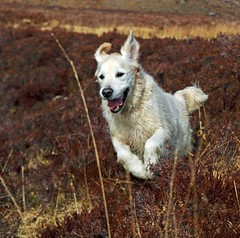 Jackson in the heather (w11buc) Tags: mountains goldenretriever canon highlands 7d torridon 5photosaday greatscot