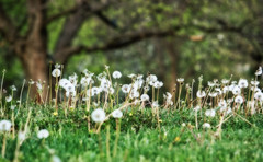 Dandelions 109/365 (Greg Booher) Tags: trees usa green grass canon spring bokeh tennessee seed dandelion 365 sullivan xsi taraxacum 450d 55250