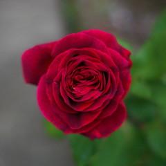 rose@f1.2
