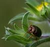 Beetle (aziouezmazouz) Tags: macro cute nature composition amazing colours cutie canon5d bellissima naturesfinest awesomeshot vibrantcolours nicecapture beautifulcapture naturewatcher thebestofday gününeniyisi stunningsupershot onlythebestofnature