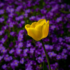 jaune (.sxf) Tags: flowers yellow spring dof purple 85mm blumen lila yellowflower gelb tulip flowerpower frhling tulpe yellowtulip colorphotoaward gelbetulpe bokehhearts
