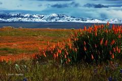 Poppies on parade (Chief Bwana) Tags: california wildflowers tehachapimountains californiapoppy antelopevalley antelopevalleypoppyreserve poppy mojavedesert psa104 chiefbwana absolutelystunningscapes yourwonderland 500views 1000views