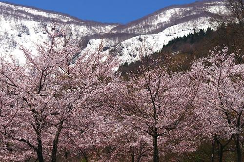201004259109桜
