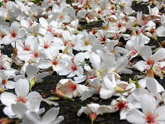 Tung Tree: Flowers: Fallen on the Ground