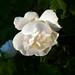 Rose May Photo 19