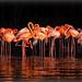 Flamencos.