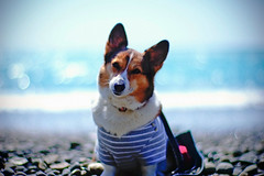 holiday (moaan) Tags: ocean light sea dog sunlight beach sunshine digital 50mm corgi surf dof shine bokeh ripple wave pebbles f10 pacificocean utata pebblebeach noctilux welshcorgi 2010 rds 四国 徳島 pochiko leicanoctilux50mmf10 日和佐 epsonrds thegoldenweek gettyimagesjapanq1 gettyimagesjapanq2