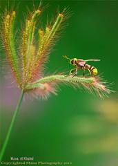 (mzna al.khaled) Tags: macro green colors yellow insect insects bee saudi natrue       macrolife