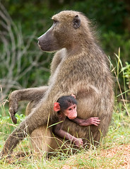 Let me outa here Mom! (Marc_Scott-Parkin) Tags: baboon specanimal flickrdiamond mygearandmepremium