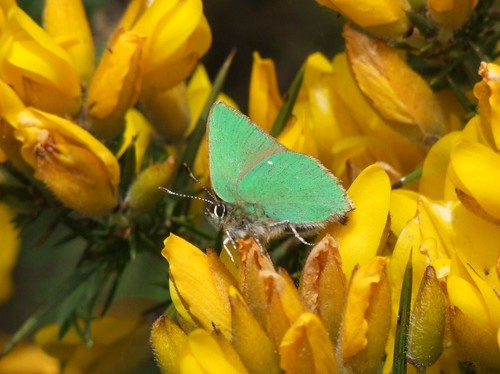 Green Hairstreak butterfly (2)