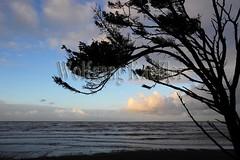 00139219 (wolfgangkaehler) Tags: sea tree landscape coast surf wind wave olympicpeninsula unescoworldheritagesite worldheritagesite northamerica coastline washingtonstate olympicnationalpark kalaloch northamerican stormwatching roughocean windblowntree
