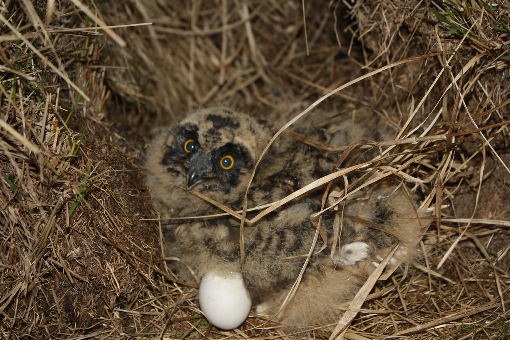 Short Eared Owlet
