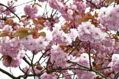 P1000016-pink cherry blossom (Mark Bukumunhe) Tags: pink cherry ilkley lossom