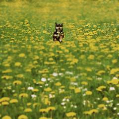 come here you little mouse (donchris!) Tags: dog chien 6 flower 6x6 fleur cane miniature flor meadow wiese x dandelion perro hund pies di format prairie blume fiore leone prato dente pinscher pradera kwiatek susi pissenlit sqaure kwiat lwenzahn suu dmuchawiec ka amargn pinschers brodawnik
