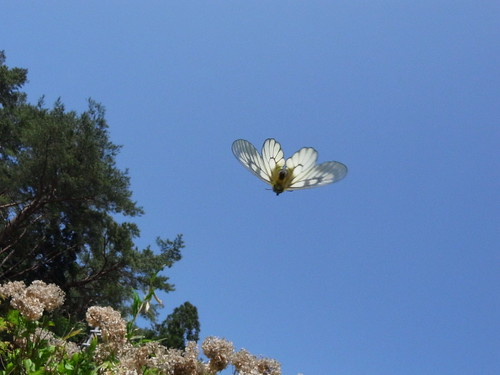 Parnassius glacialis in flight
