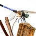 El Jobean Dragonfly_2194