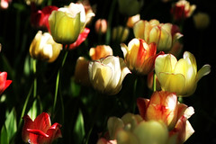 In The Tulip Garden (Brian 104) Tags: flowers garden tulips submerged flickrduel