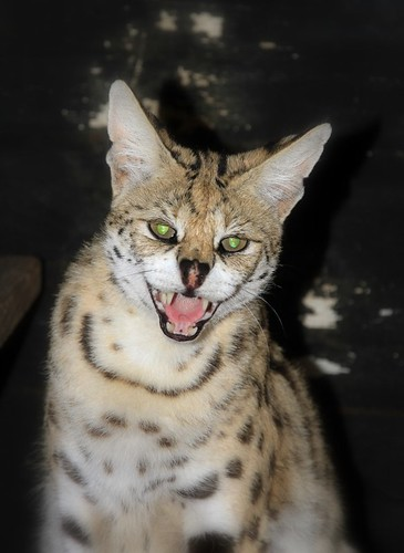 Female serval cat Penelope