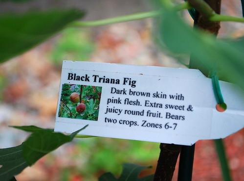 Fig Tree 3