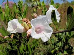Ipomoea squamisepala (Mauricio Mercadante) Tags: cerrado savannah savanna convolvulaceae ipomoea floresdocerrado braziliansavanna mercadante taxonomy:genu