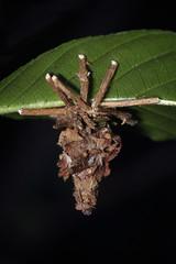 bagworm (myriorama) Tags: moth case caterpillar twigs larva bagworm tineoidea psychidae