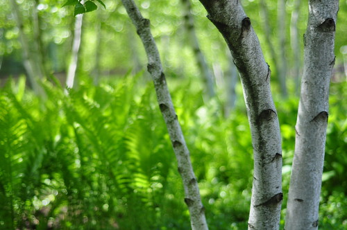 Ferns and Birch