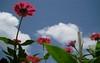 Calmness... (INDIKA KUMARA) Tags: sky frangipani srilanka araliya