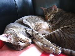 IMG_2387 (pjpink) Tags: cats cat virginia spring orientalshorthair richmond kitties paws richmondva striped rva 2010