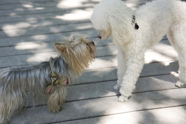 Yorkie meets Toy Poodle