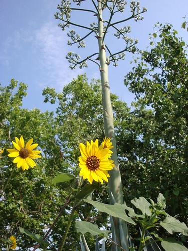 agaveblossom_sunflowers