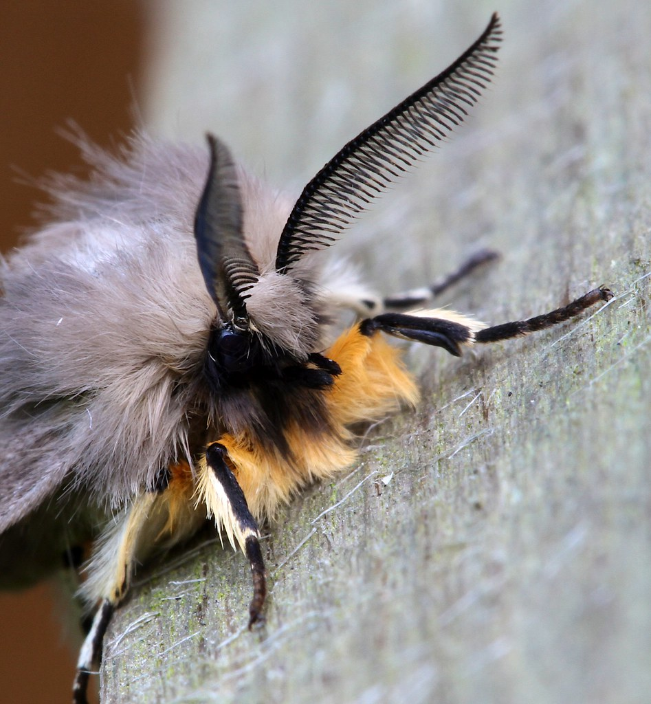 Muslin Moth - close up of head