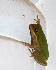 That Bug's History (mmblawyer) Tags: nature mississippi outdoors wildlife may amphibian frog treefrog 2010 gulfcoast