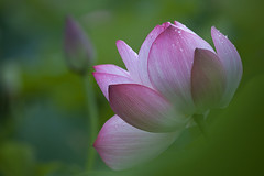 Morning Dew (Claire Chao) Tags: pink flower flora lotus blossom dew morningdew   canoneos5dmarkii ntuankangfarm