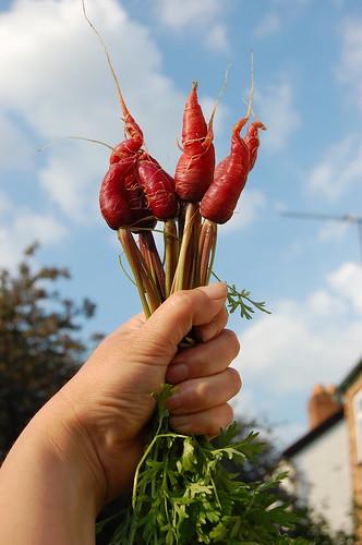 Carrot triumph