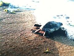 下海之後,還有重重關卡等著小海龜。 圖片來源: 海洋生態暨保育研究室