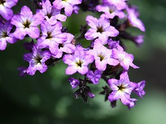 Heliotrope 'Fragrant Delight' (donsutherland1) Tags: flowers ny macro nature june spring small blossoms tiny bloom 1001nights macroshot heliotrope mamaroneck newyor thegalaxy flickraward macroflowerlovers awesomeblossoms fragrantdelight