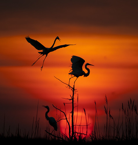 Spotlight on Egrets by Tony Pratt DE Photographer