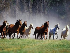 Beautiful horses, light as the wind !!! (yvon Merlier) Tags: sea portrait love cheval amazing nikon cowboy paysage soe supershot topshots platinumphoto nikond300 natureelegantshot lickraward ringexcellence theanimalsanimalitieredierep1c2groupiconanimalsanimalitierediere