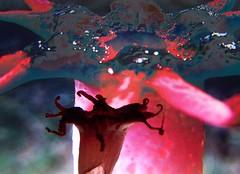 Mama am home... (YAZMDG (16,000 images)) Tags: leaves moss seeds fungi bark fungus nsw lichen pods basidiomycota florafauna yaz saprophytic aseroerubra northernrivers phallaceae starfishfungus anemonestinkhorn seaanemonefungus mycoheterotrophs yazminamicheledegaye yazmdg ystudio