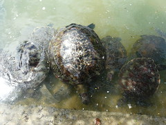P1040776 (raafjes) Tags: bali turtleisland pulauserangan