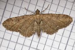 1834-DSCN0794 Common Pug (Eupithecia vulgata) (ajmatthehiddenhouse) Tags: 2010 moth kent geometridae larentiinae eupitheciavulgata eupithecia vulgata commonpug stmargaretsatcliffe garden uk