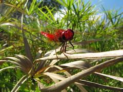 Hallo everybody! (zzmaurogrr) Tags: red verde green nature leaves foglie leaf dragonfly natura foglia rosso libellula zzmaurogrr maurograziani